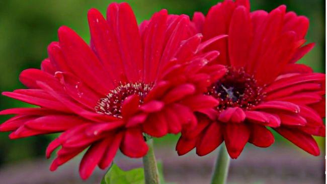 Foto Bunga Garbera
