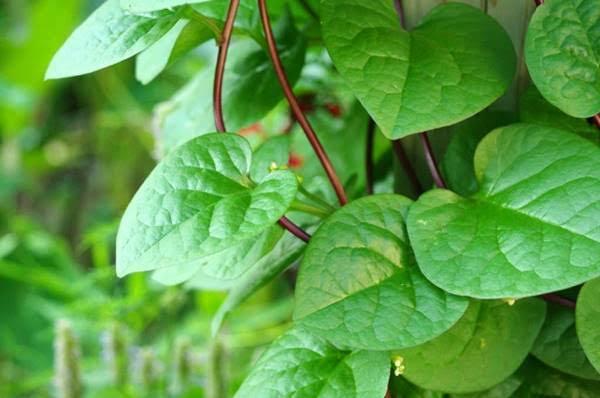 manfaat daun binahong untuk kesehatan