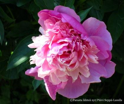 Pionit puhkeavat kukkaan sopivasti heinäkuun alussa.