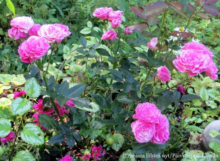 Aulangolta löytyneen salaisen puutarhan ruusut kukkivat elokuun auringonpaisteessa.