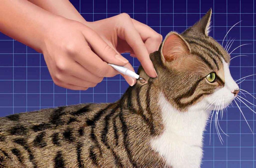 Большой глист у кошки