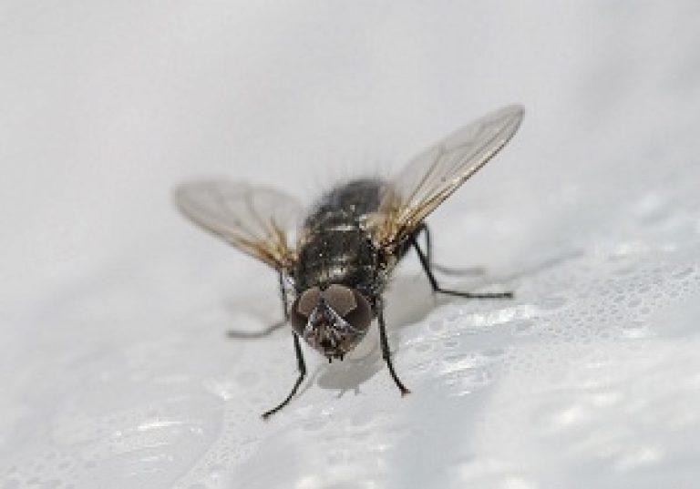 Сколько живет муха обыкновенная в квартире. Сколько живет муха обыкновенная: стадии развития и методы борьбы