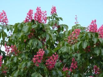 Lilas d'Inde