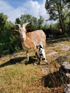 Bonjour à tous ! Hier, Heidi ( chèvre du Rove ) a mit au monde un petit mec   Il…