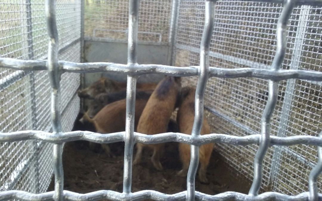 Catture: presi 23 cinghiali in zona La Storta