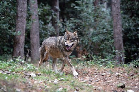 12 novembre – Sulle tracce del lupo con Monesi Young