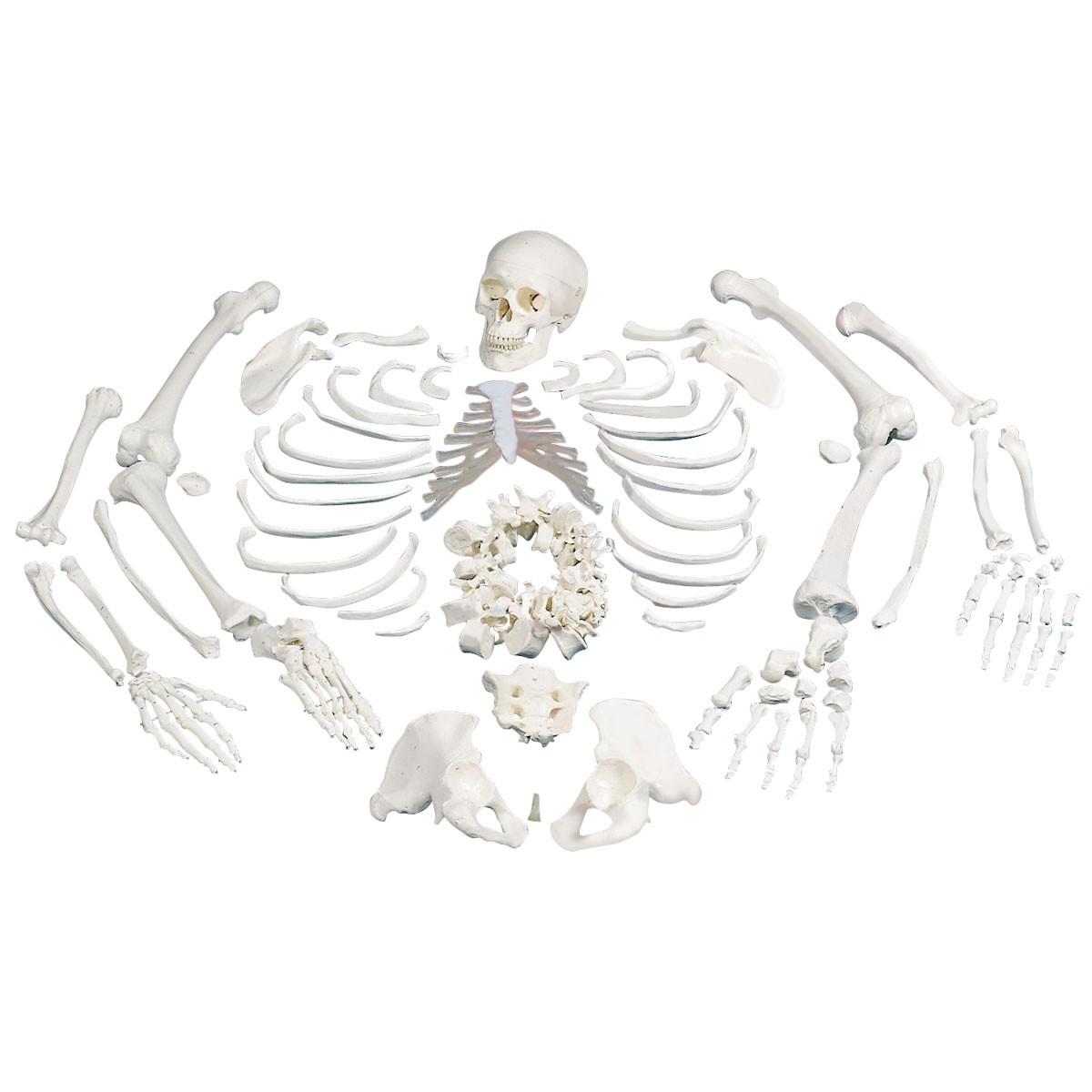 3b Disarticulated Skeleton