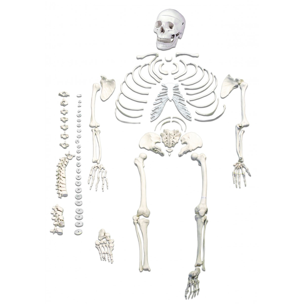Walter Full Size Disarticulated Skeleton