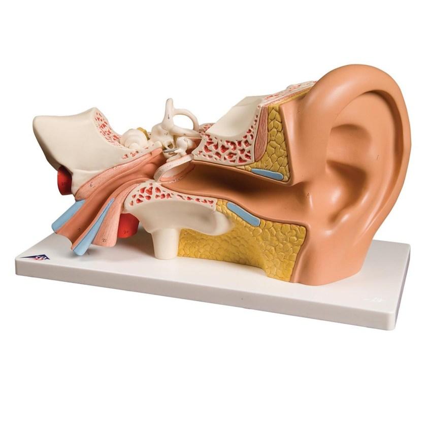3B Classic Giant Ear - 4 Parts - Sense Organs - Human ...