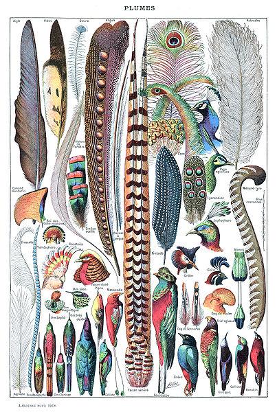 Types de plumes, Larousse pour tous, 1907-1910 - Source Wikipédia