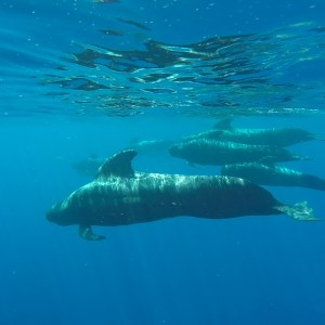 Globicéphales (whale pilot) au sud de Tenerife