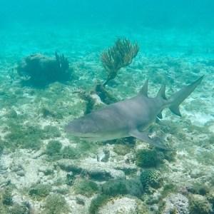 requin caraïbe