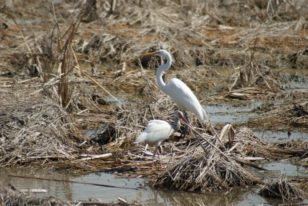Grande aigrette contre petit ibis