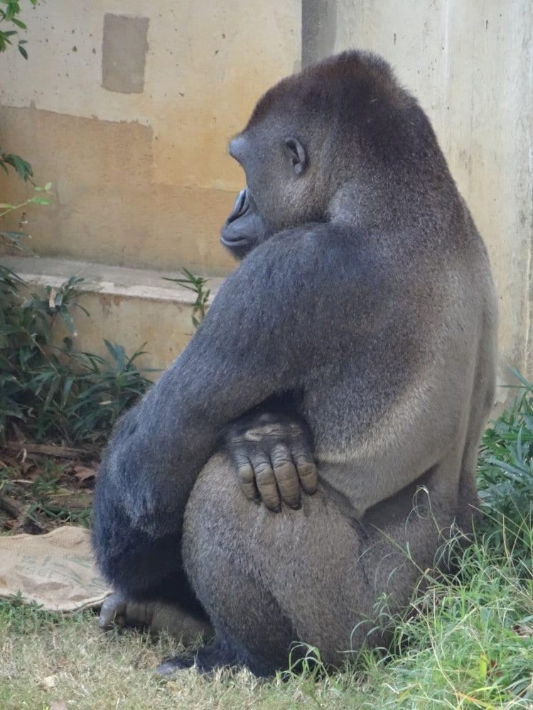 Un gorille mâle du zoo de Washington