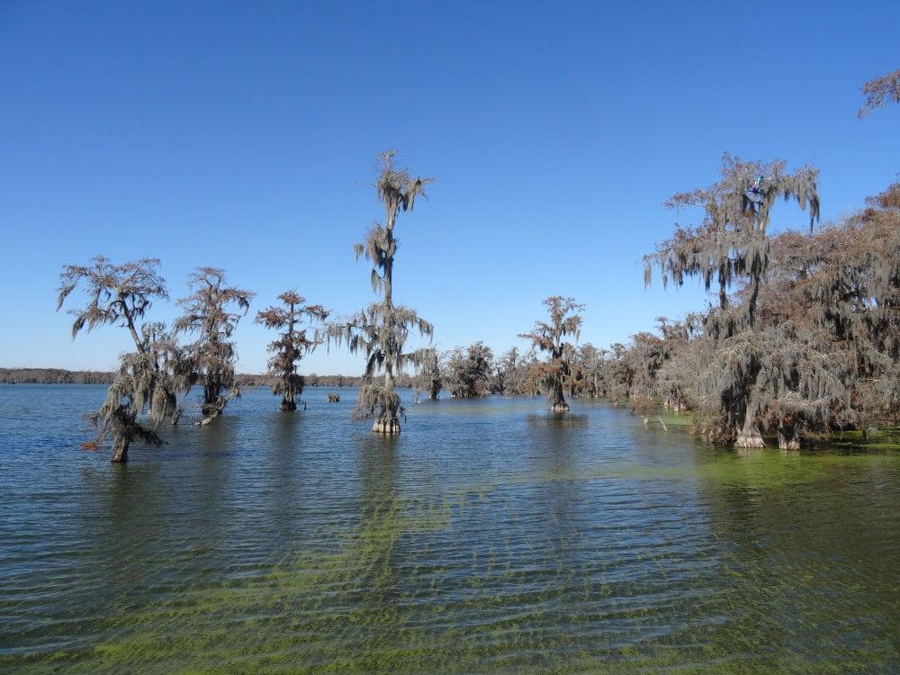 Les immenses cyprés recouverts de mousse espagnole au Lake Martin