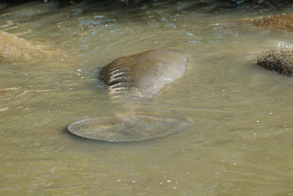 Un lamantin qui fait la planche