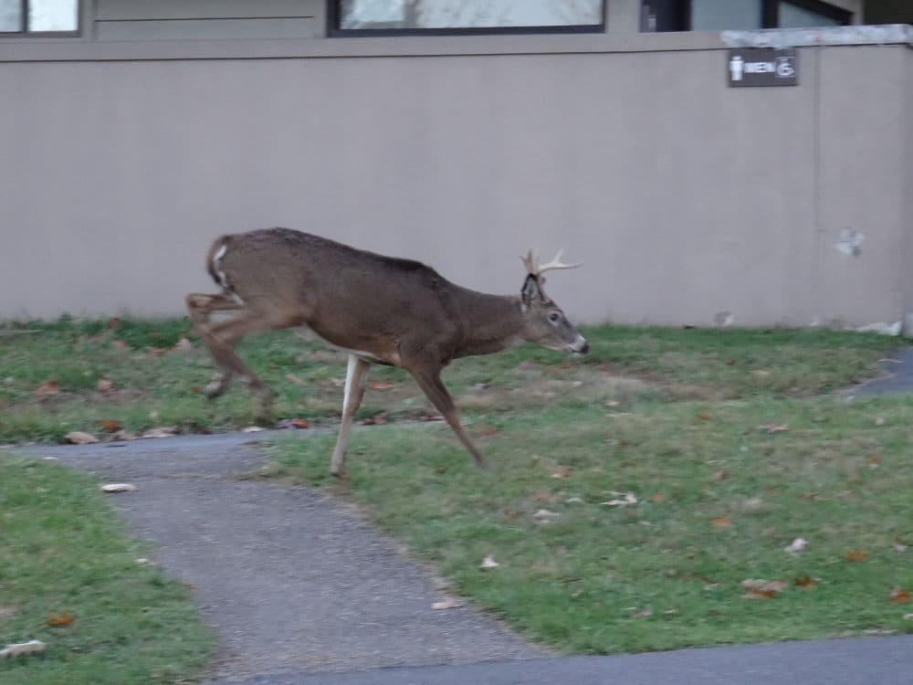 Un jeune cerf court aux sanitaires