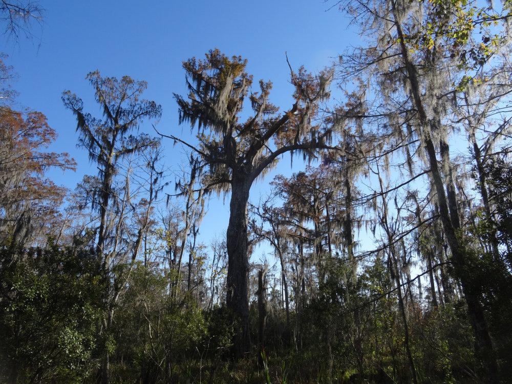 Les forêts humides du bayou