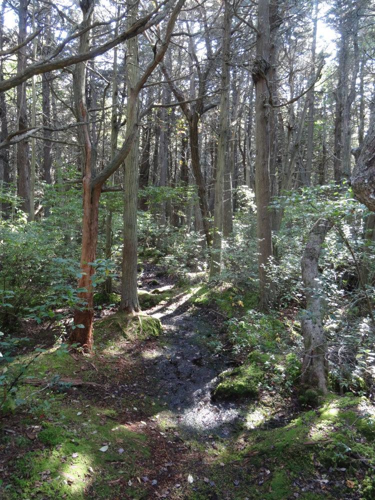 Balade au milieu des forêts de cèdres blancs