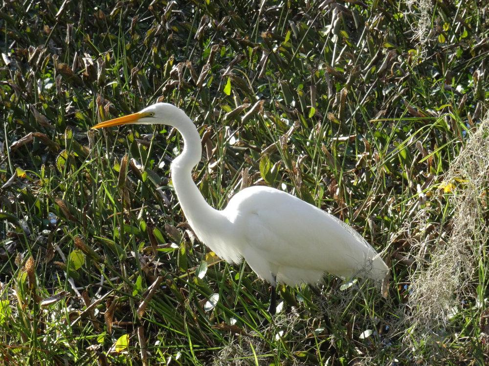 Une grande aigrette dans les marais de Barataria Preserve