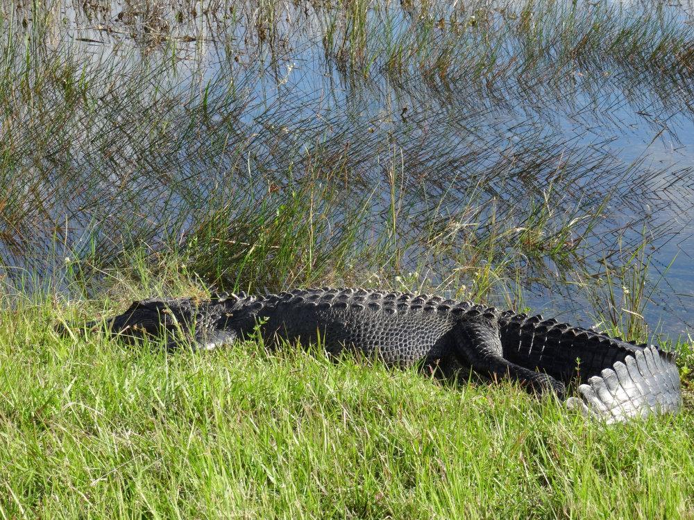 Un alligator croisé sur le bord de la route. dangereux de faire du stop dans la région !