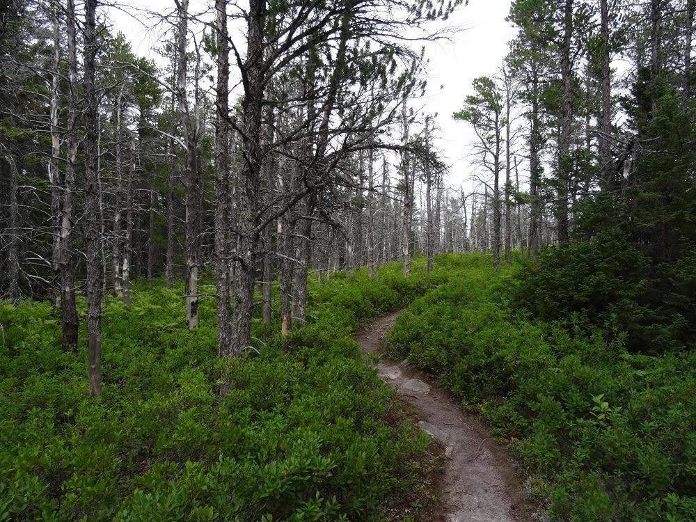 Forêt de pins gris au Cap Breton