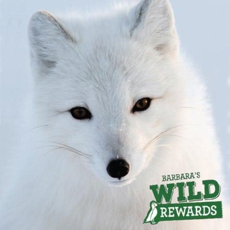 wild-rewards-snow-fox