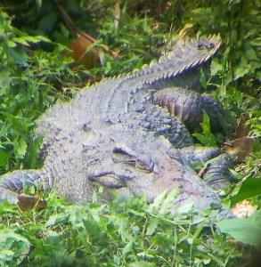 blog-voyage-couple-parfums-de-liberte-leo-et-julie-petit-budget-jungle-thailandaise-crocodile
