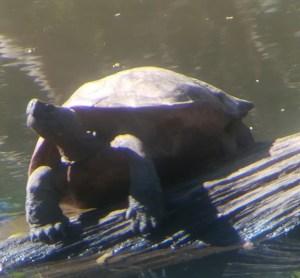 blog-voyage-couple-parfums-de-liberte-leo-et-julie-petit-budget-jungle-thailandaise-tortue