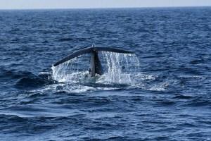 blog-voyage-couple-parfums-de-liberte-leo-et-julie-petit-budget-sri-lanka-baleine-bleue-mirissa