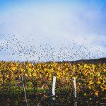 Vineyard Champagne