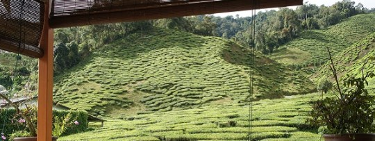 Plantation de thé à Cameron Highlands