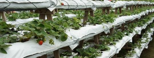 Ferme de fraises à Cameron Highlands
