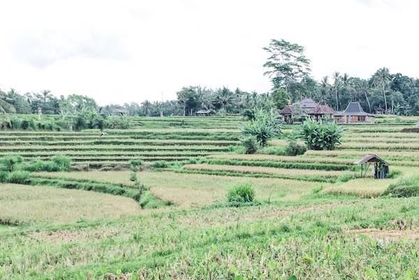 Les rizieres autour Ubud