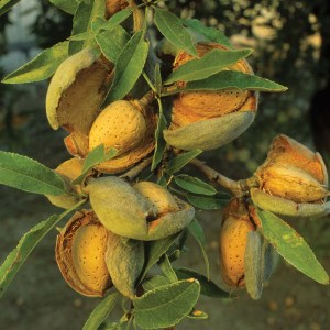 Almond (Prunus dulcis) 'Peerless' fruit with open husks, California, U.S.A.