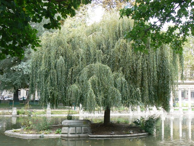 Quartiers de Paris Saule pleureur Parc Monceau / Photo ODL