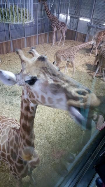 Petit déjeuner avec les girafes au Parc zoologique de Paris (5)