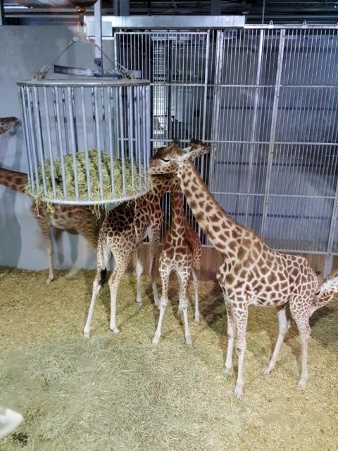 Petit déjeuner avec les girafes au Parc zoologique de Paris (6)