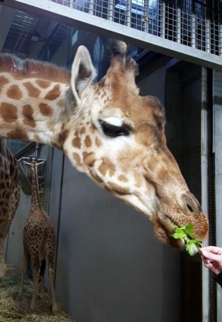 Petit déjeuner avec les girafes au Parc zoologique de Paris (9)