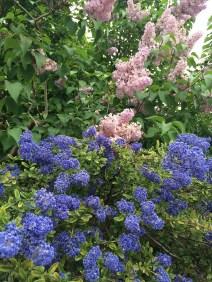 Lilacs in Rodin's garden