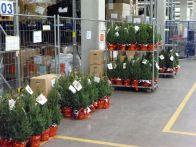 Foto Weihnachtsbäume auf Rädern