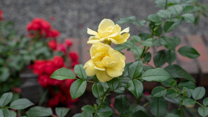 P1540708_yellow_rose_1000