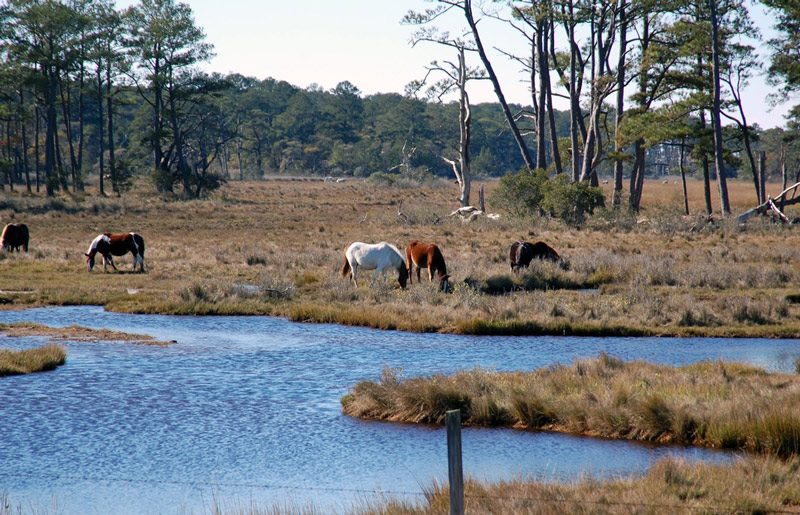 wild horses on the assateague island national park seashore
