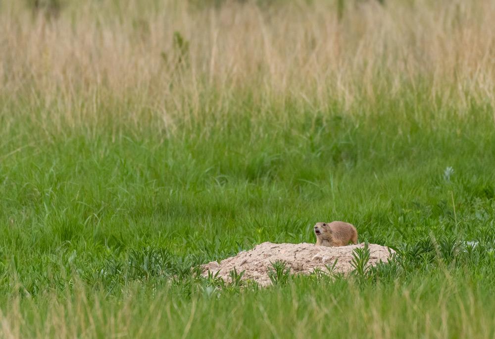 wild prairie dog on a mound in the south dakota badlands
