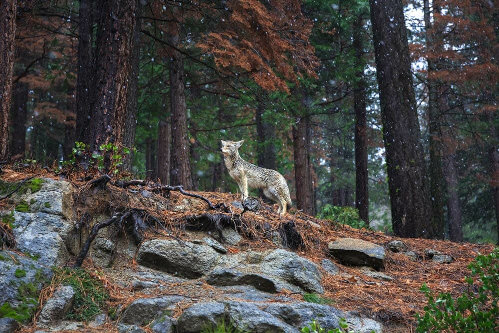 Photographing coyote in Yosemite National Park