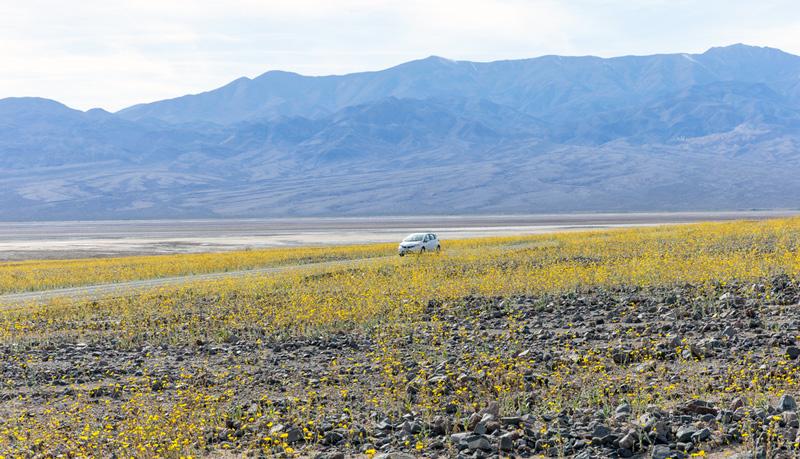 superbloom in death valley national park