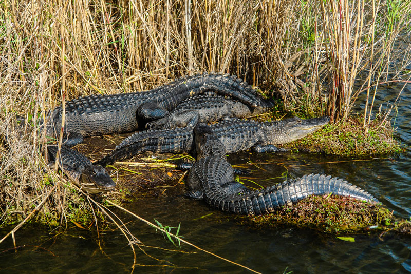 florida alligators in everglades national park