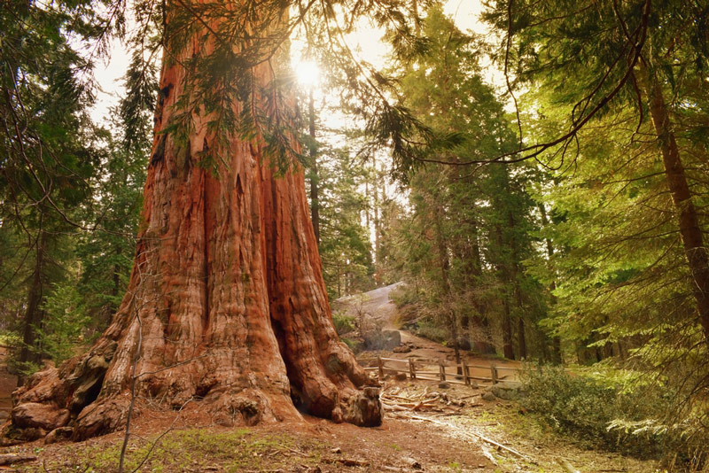 General Grant Tree In Kings Canyon National Park Is The Largest Sequoia By Volume