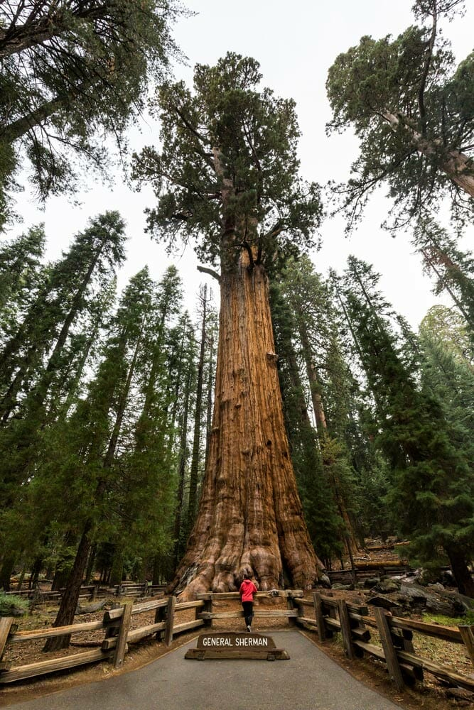 general sherman tree near lodgepole campground in sequoia national park