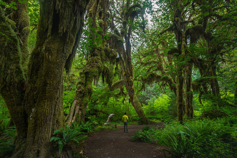 Hiker On The Hall Of Mosses Trail In The Hoh Rainforest Olympic National Park